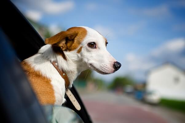 Dog leaning out a car window